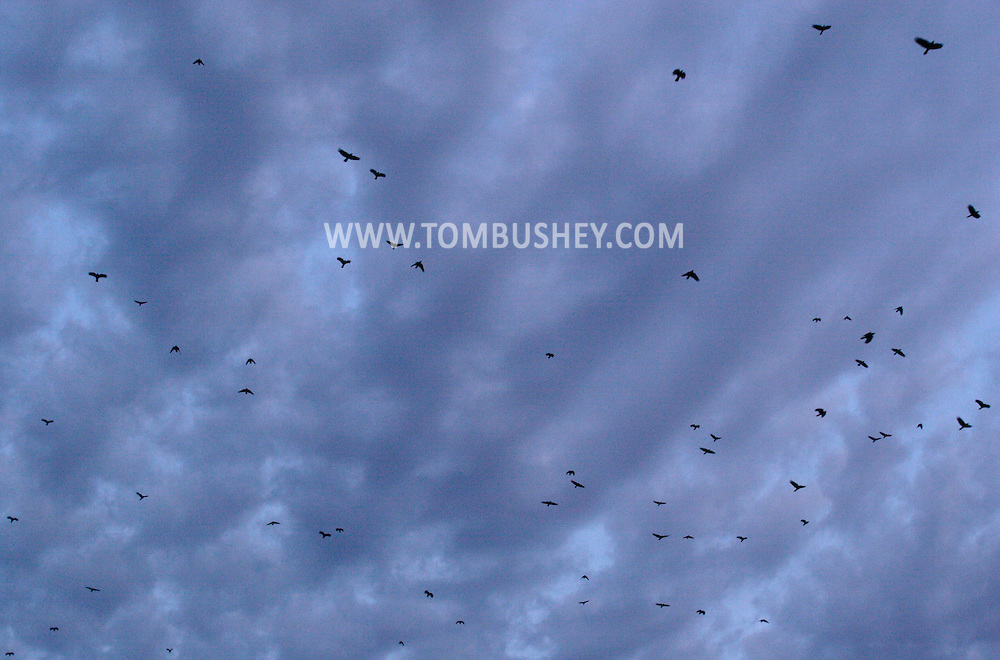 Middletown, NY - Crows fly off to their roosting site on the evening of  Dec. 14, 2008.