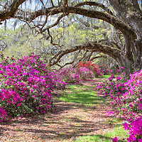 Azaleas amid a line of live oaks, Magnolia Plantation, near Charleston, SC