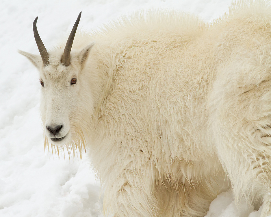 Prior to the onset of the winter season, mountain goats grow an extremely dense coat. This thick fur will help them withstand temperatures as low as −50 Fahrenheit and winds up to 100 miles per hour.