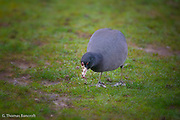 American Coots feed on grubs and insects as well as vegetation and algae.