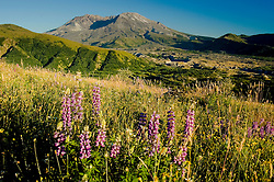 Broadleaf Lupine (Lupinus latifolius) and Mt. St. Helens, Mt. St. Helens National Volcanic Monument, Washington, US