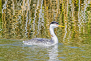 Clark's Grebe - Aechmophorus clarkii swimming in the water