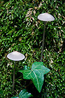 Fairy-like scenery. Two slender, parasol-like mushrooms in amongst ivy and green moss.