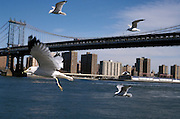 Seagulls and Manhattan Bridge