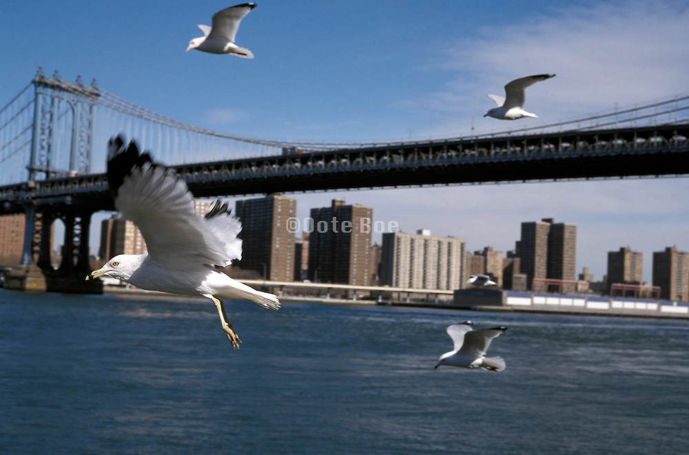 Seagulls and Manhattan Bridge