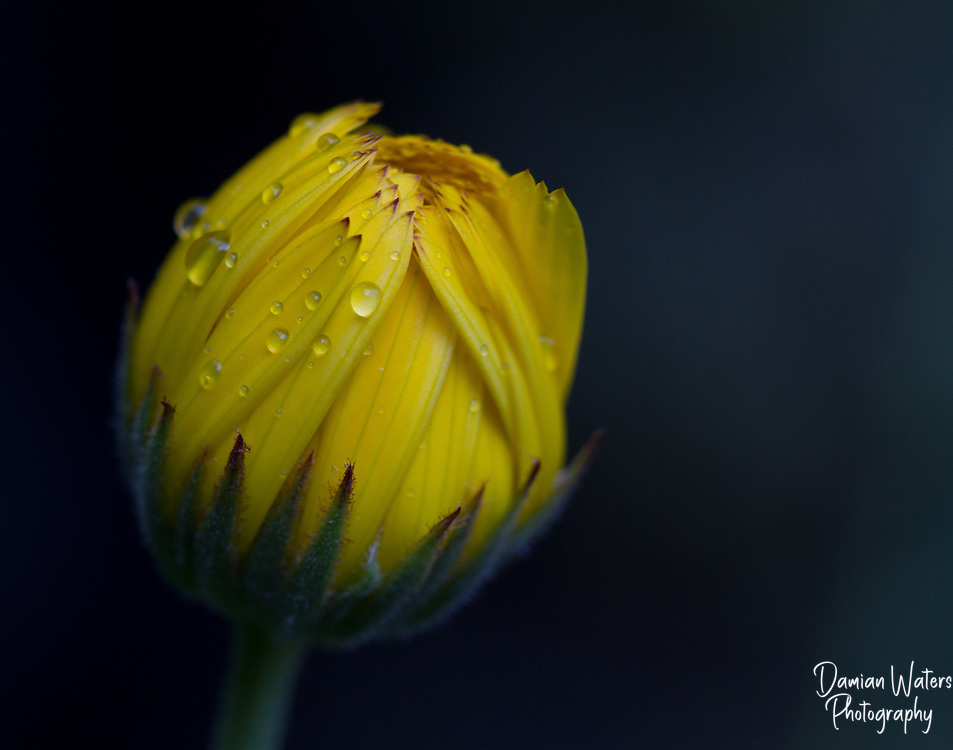 Arnica, Arnica montana, flower in bud with water droplets - Wirral, July
