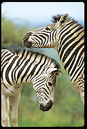 Two zebras create striking profile before rubbing necks at Hluhluwe-Umfolozi Park; KZ-Natal South Africa