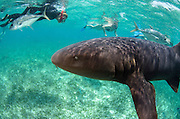 Nurse Shark (Ginglymostoma cirratum) & Renee Bish<br /> Hol Chan Marine Reserve<br /> near Ambergris Caye and Caye Caulker<br /> Belize Barrier Reef, second largest barrier reef in the world<br /> Belize<br /> Central America