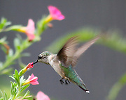 Hummingbird drinking nectar from flower