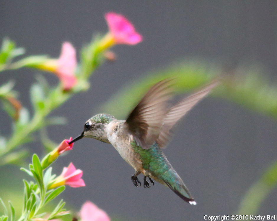 Hummingbird drinking nectar from flower