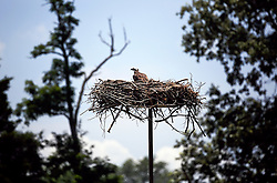 03 July 2013. St Michael's, Maryland.<br /> An Osprey sits atop a nest in the marina.<br /> Charlie Varley/varleypix.com