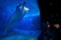 Graceful giant Manta Rays enchant visitors to the Churaumu Aquarium in Okinawa, Japan.