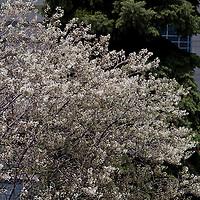 The abundant white spring flowers of the shadbush ( Amelanchier )