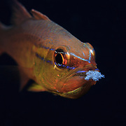 Goldbelly cardinalfish (Apogon apogonides) aerating eggs that it was carrying in its mouth.