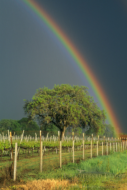 Rainbow over vineyard in spring storm, Anderson Valley, near Booneville, Mendocino County, California