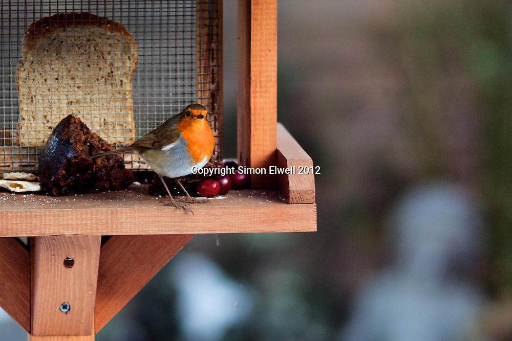 Robin on garden bird table with berries