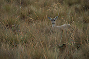 White-tailed deer (Odocoileus virginianus)<br /> Cayambe Coca Ecological Reserve<br /> Andes<br /> ECUADOR, South America