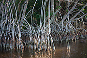 The mango tree roots reach into the everglades.