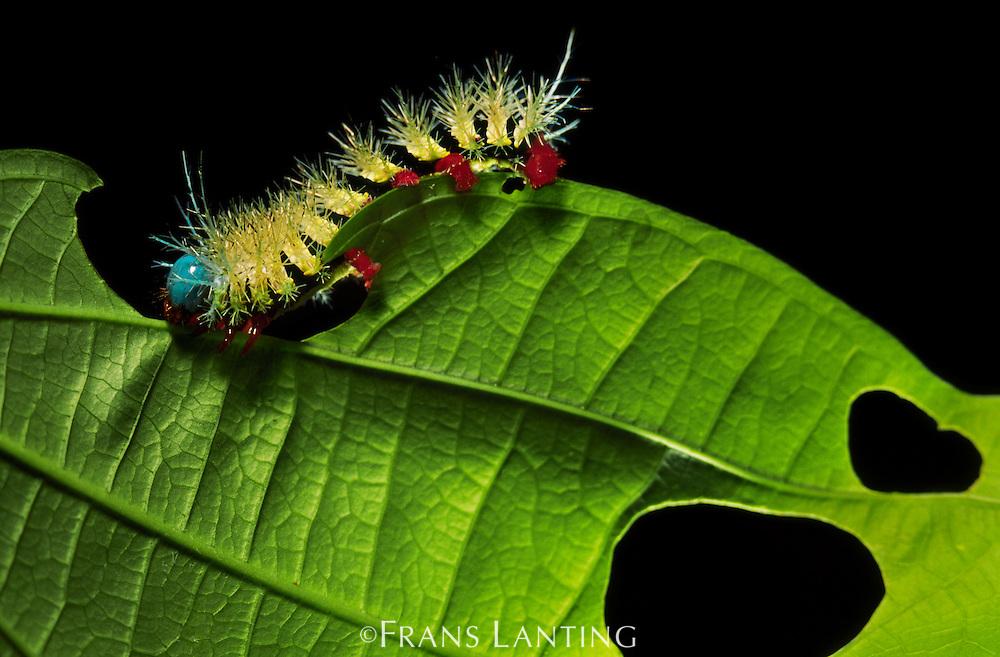 Caterpillar eating leaf, Manu National Park, Peru