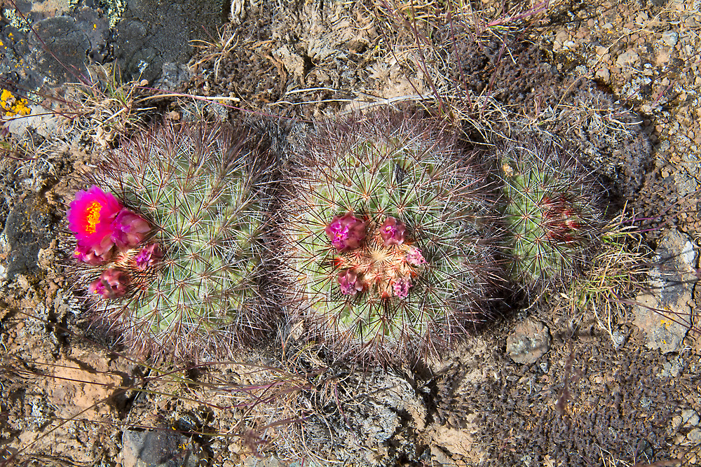 The snowball cactus - also known as the mountains ball cactus or Simpson's hedgehog cactus - is very similar to many of the hedgehog cacti of the American Southwest, except this species is found natively only in the arid sagebrush deserts of Oregon and Washington. Sometimes found growing singly or in pairs, they can sometimes form massive clumps of plants and are unfortunately becoming rare in their native habitat due to plant poaching by collectors, which is unfortunate as they don't take to replanting well. This photo was taken just to the west of Vantage, WA in the rural hills near Whiskey Dick Mountain.