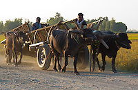 Men with domestic buffalo driving wooden carts, Terai region, Nepal