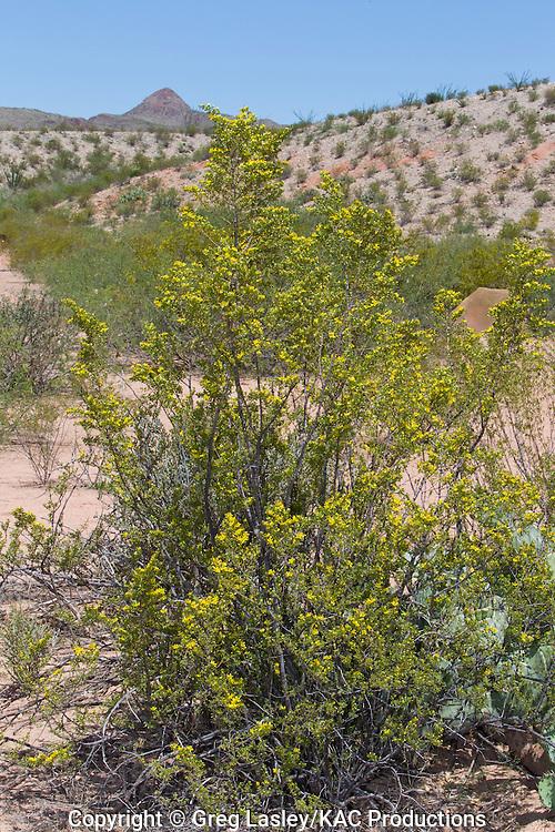 Creosote Bush.Larria tridentata.Terlingua Abaja.Big Bend National Park,.Brewster Co., Texas.4 May 2010