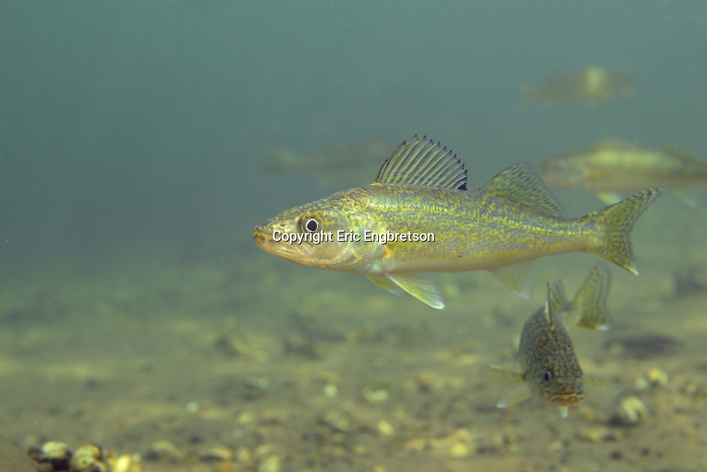 Young Walleye (Yearling)<br />