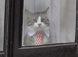 File photo dated 14/11/2016 of a cat that is believed to belong to Julian Assange. WikiLeaks has confirmed that the cat owned by founder Julian Assange is safe after the Australian fugitive's arrest in London.