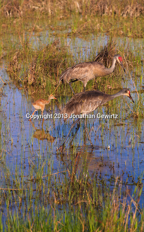 A pair of adult Sandhill Cranes (Grus canadensis) is followed by a Sandhill Crane chick while foraging for food on flooded sawgrass prairie in the Shark Valley section of Everglades National Park, Florida. WATERMARKS WILL NOT APPEAR ON PRINTS OR LICENSED IMAGES.