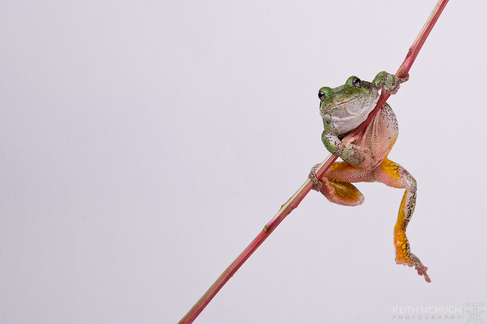 Tree frog hanging his legs down from a limb