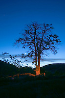 Silhouette of locust tree at sunset on Rosa Creek Homestead Eastern Washington USA