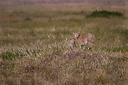 Two cheetahs, siblings, Serengeti National Park, Tanzania.