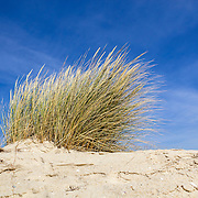 Ammophila arenaria, a species of grass known by the common names European marram grass and European beachgrass. It is native to the coastlines of Europe and North Africa where it grows in the sands of beach dunes.