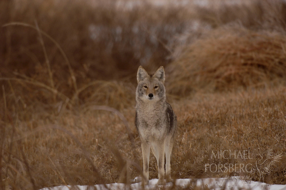 A coyote moves along the grassy bank above Blue Creek to hunt for waterfowl.  Nebraska Sandhills.