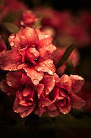 Rosebud (gable) azaleas after a rainstorm.