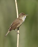 Reed Warbler - Acrocephalus scirpaceus