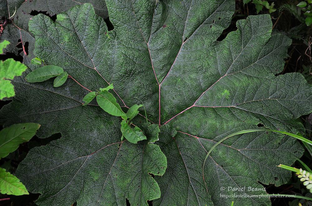 Large leaf in the La Yunga giant fern forest, cloud forest, near Mairana, Santa Cruz, Bolivia