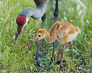 Sandhill crane chick waits near adult that is foraging in the soil in a lush green meadow in a wetland, © 2014 David A. Ponton