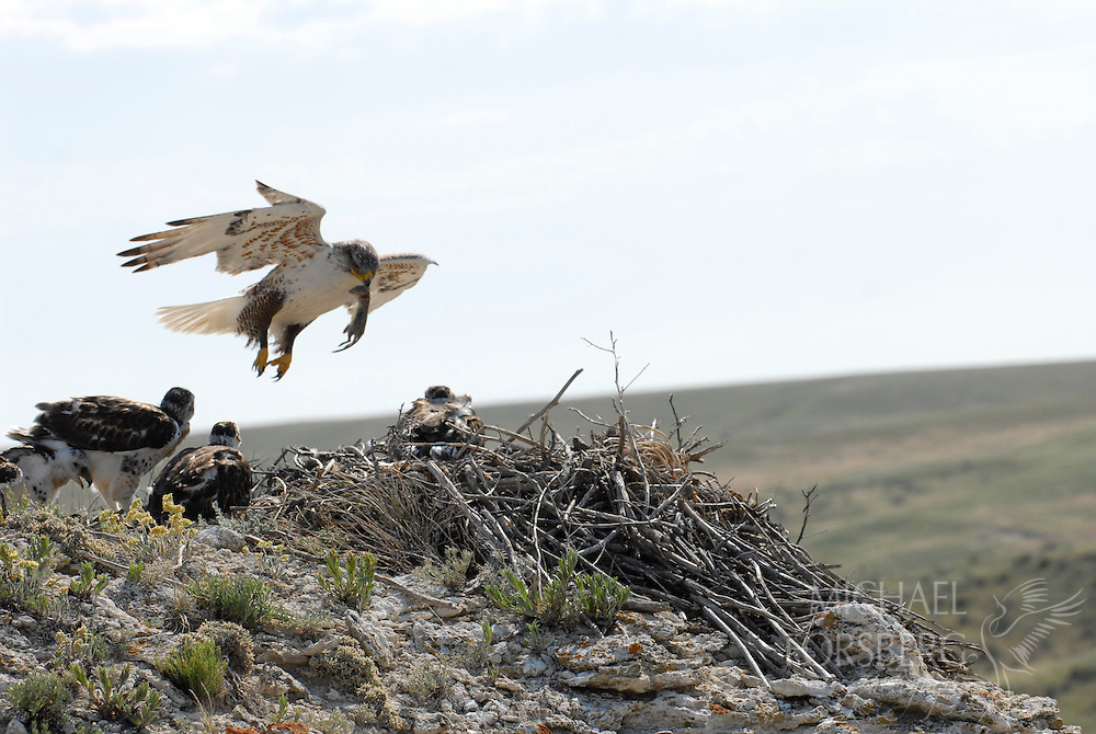 A ferruginous hawk, the largest hawk in North America, brings a thirteen-lined ground squirrel to its chicks.  Morril County, Nebraska.