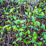 CAPTION: A mangrove nursery in Tapak village. Local community members are planting mangrove seedlings around their fishponds to protect them and help reduce the impact of flooding. LOCATION: Tapak, Semarang, Indonesia. INDIVIDUAL(S) PHOTOGRAPHED: N/A.