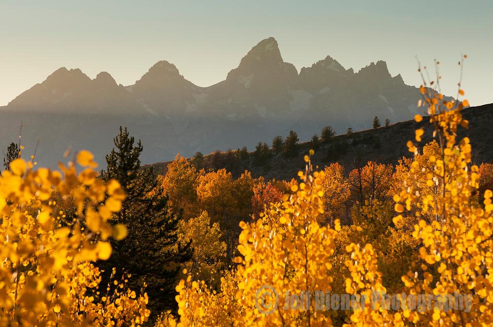 Yellow Aspen leaves glow at sunset in Grand Teton National Park, Jackson Hole, Wyoming.