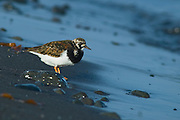 The Ruddy Turnstone (Arenaria interpres) is a small wading bird, one of two species of turnstone in the genus Arenaria. It is now classified in the sandpiper family Scolopacidae  but was formerly sometimes placed in the plover family Charadriidae.