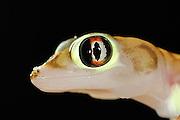 Der kleine (etwa 10-12 cm große) Wuestengecko (Palmatogecko rangei) erscheint nachts an der Oberfläche der Sanddünen der Namib Wüste, wo er auf Jagd nach z.B. Spinnen und Heuschrecken geht.  Sein zierlicher Körper ist blaß und erscheint fast durchsichtig. Die riesigen Augen ermöglichen das Auffinden der Beute im Dämmerlicht und die Schwimmhäute an den Füßen helfen nicht nur beim Laufen auf der lockeren Sandoberfläche, sondern dienen als Paddel beim Abtauchen in den Sand. | Web-footed gecko Gecko (Palmatogecko rangei) on sand dune in the Namib Desert