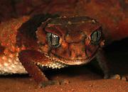 banded or pilbara knob tailed gecko (Nephrurus wheeleri) western australia