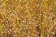 Flax closeup<br /> Tonquin<br /> Saskatchewan<br /> Canada