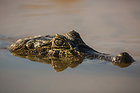 Head of a caiman, Caiman latirostris, submerged in the water in the Cuiaba River.