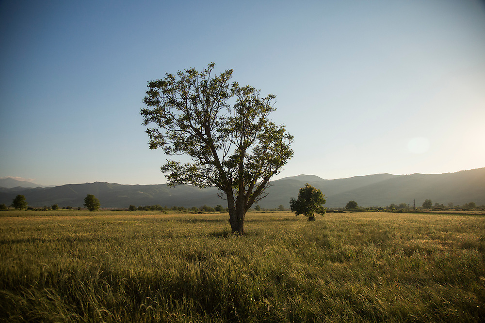A tree stands in the middle of a field that will be flooded if the Vjosa River is dammed.