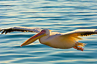 Great White Pelicans, Walvis Bay, Swakopmund, (Atlantic Ocean off of the Namib Desert coastline), Namibia