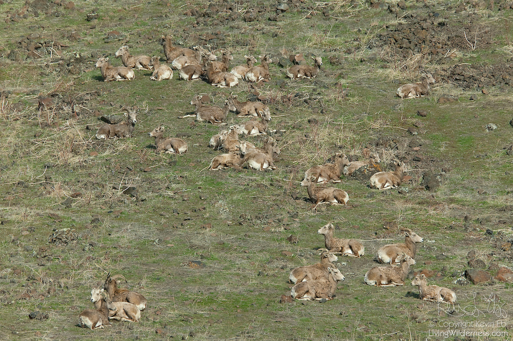 Dozens of bighorn sheep (Ovis canadensis) feed and rest on a hillside in the Oak Creek Wildlife Area, west of Yakima, Washington.