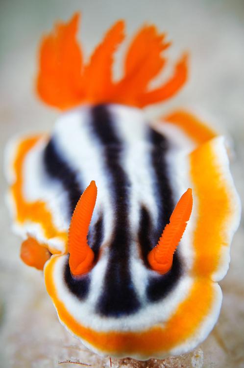Magnificent chromodoris nudibranch, Mabul, Sabah, Malaysia.